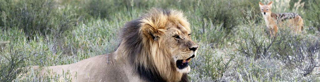 male lion sitting in the safari